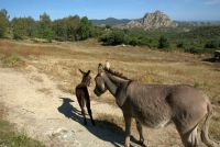 Wildlebende Esel im Désert des Agriates: Anders als der Name vermuten lässt, grünt und blüht die Maquis der Felswüste im Frühjahr