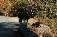 Kein Trubel, nur Kastanien-fressende Kühe, Ziegen, Wild- und Hausschweine grasen im Walddickicht oder am Straßenrand und wechseln nach Lust und Laune die Straßenseite.