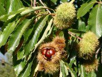 Spezialität aus Evisa ist die Kastaniensorte 'Insidina