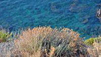 Immortelle - Das würzige Kraut verbreitet einen betörenden Duft auf Korsika